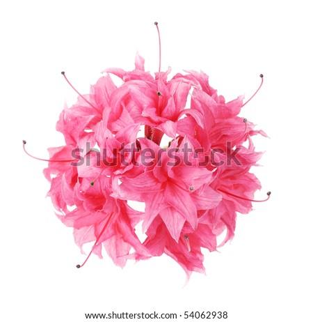 pink azalea isolated