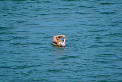 Pink backed pelican are found in many wetland habitats with open water, including lakes, ponds, and coastal lagoons.