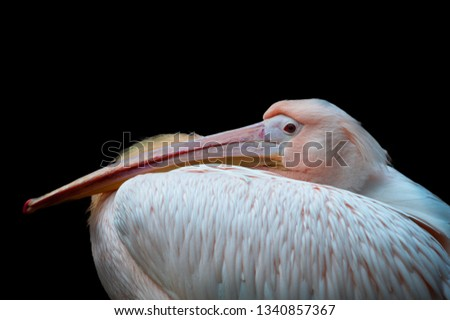Pink Backed Pelican taking a nap. The black background provides an excellent Isolation for this beautifully colored pelican. Birdwatchers ideal pic.