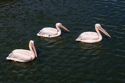 Pink backet pelicans - Pelecanus rufescens swimming in the water. Three beautiful pink wild pelicans on the water surface