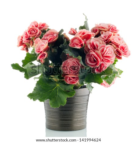 Pink begonia plant in a dark flowerpot on white background.