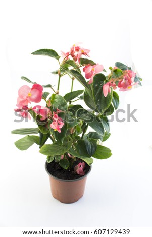 Pink Begonia Potted Isolated on White. #607129439