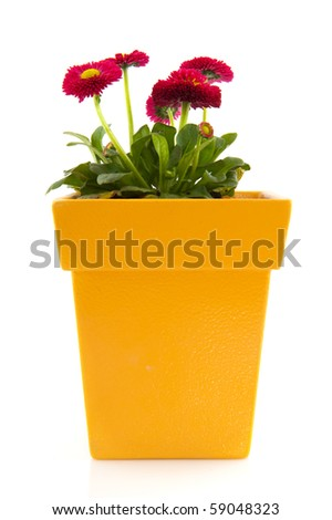 Pink Bellis in yellow flower pot isolated over white background