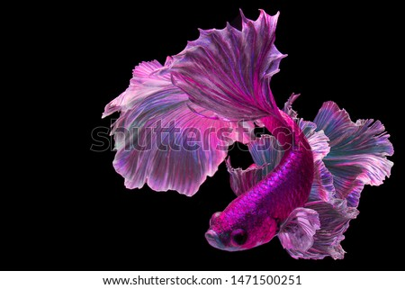"Pink betta fish ""Fancy Halfmoon Betta"" The moving moment beautiful of Siamese Fighting fish in Thailand. Betta splendens Pla-kad (biting fish), Rhythmic of Betta fish isolated on black background"