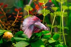Pink Betta Fish in aquarium