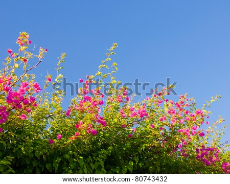Pink blooming bougainvilleas against the blue sky...