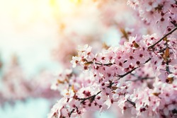 Pink blooming fruit tree branch. Cherry orchard. Spring nature background