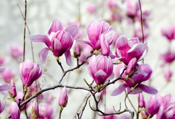 Pink blooming magnolia flowers in spring garden