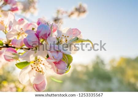 Pink blossom in sunlight. Zen garden with spring blossoming apple branch, blur background