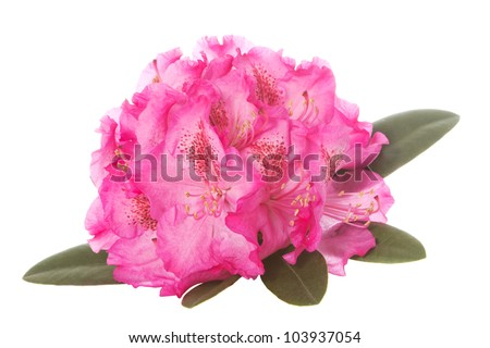 Pink blossom of a rhododendron with green leaves over a white background