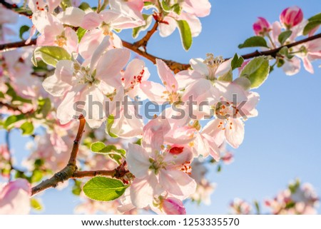 Pink blossom on sky background, spring blossoming branch of apple tree