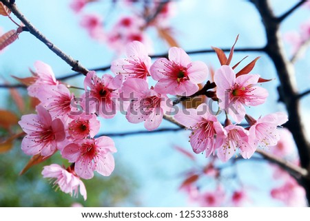 Pink Blossom Sukura Flowers On A Spring Day In Thailand