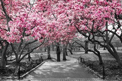 Pink Blossoms in Central Park Black and White Landscape, NEW YORK CITY