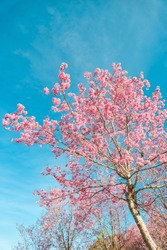 Pink blossoms on the branch with blue sky during spring blooming, Branch with pink sakura blossoms, Chiang Mai, Thailand Blooming cherry tree branches against a cloudy blue sky Himalayan blossom
