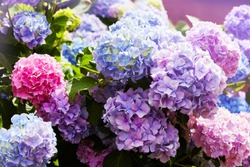 Pink, blue, lilac, violet, purple Hydrangea flower (Hydrangea macrophylla)  blooming in spring and summer in a garden. Hydrangea macrophylla - Beautiful bush of hortensia flowers