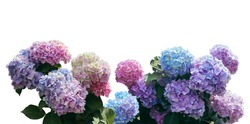 Pink, blue, lilac, violet, purple Hydrangea flower (Hydrangea macrophylla) isolated o a white background with clipping path