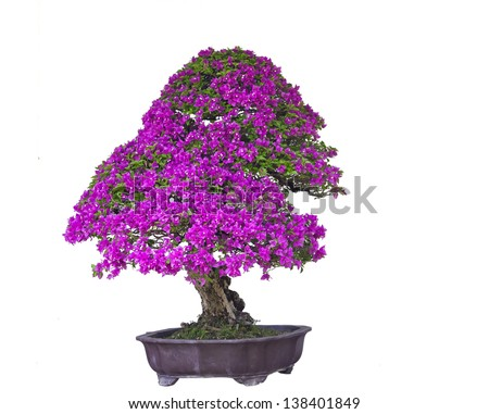 Pink Bonsai white background