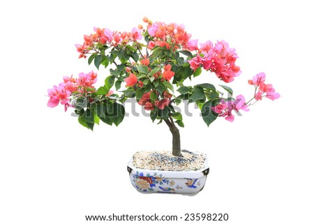 Pink Bougainvillea Bonsai tree on white