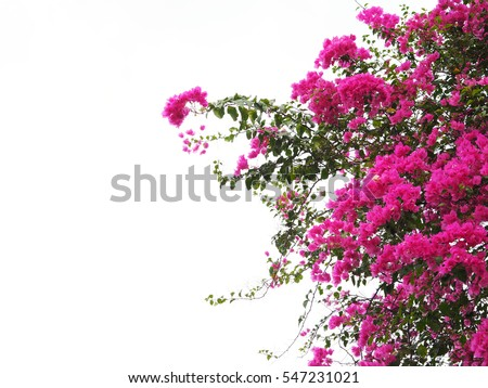 Pink Bougainvillea flower isolated on white background
