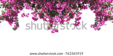 Pink Bougainvillea flower on white background. Banner background with copy space.