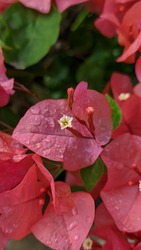 Pink Bougainvillea flower photographed after rain fall. Bougainvillea sp. are popular ornamental plants in most areas with warm climates.