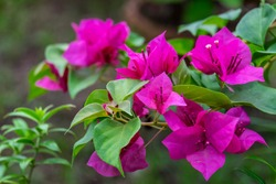 Pink bougainvillea flower with green leaf, front focus blurred background