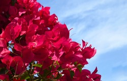 Pink Bougainvillea flowers against blue sky. Blooming Bougainville. Foral background for design with copy space.Selective focus.