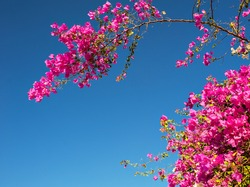 pink bougainvillea flowers against the sky.