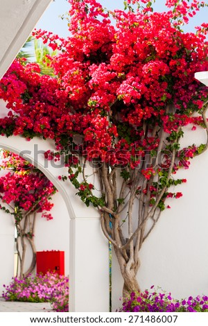 pink bougainvillea flowers against the traditional Greek white houses #271486007