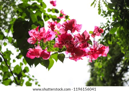 Pink bougainvillea flowers blooming in daytime  #1196156041