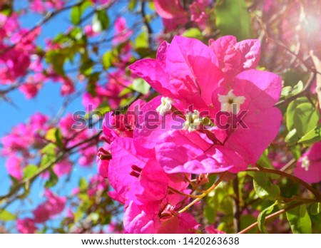 Pink Bougainvillea flowers in the park of Tenerife on a sunny morning.Blooming Bougainville.Summer floral background for design.