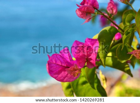 Pink Bougainvillea flowers on a blurred ocean beach background.Blooming Bougainville.Summer vacation or travel concept with space for text.Selective focus