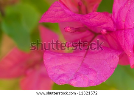Pink bougainvillea, macro image with a short dof