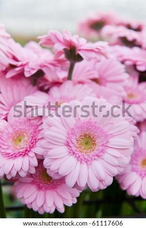 Pink bouquet Gerber flowers in the flower shop