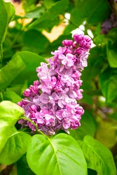 Pink branch of a blossoming lilac on a green background. Fresh lilac on a background of nature. Lilac macro photo