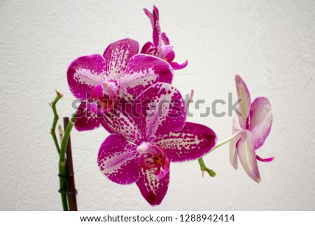 pink branch orchid flowers with white spots, Orchidaceae, Phalaenopsis