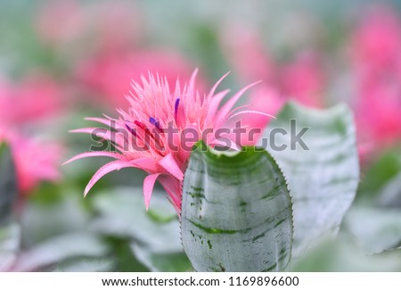 Pink bromeliad flower in garden nursery on pink plants background / Aechmea fasciata Bromeliad