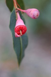 Pink bud and opening red blossom of the Australian native flowering gum tree Corymbia ficifolia Wildfire variety, Family Myrtaceae. Endemic to Stirling Ranges near Albany on south west coast of WA