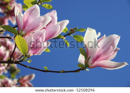 Pink buds of a magnolia against the blue sky