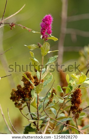 pink butterfly bush bloom in august with dried blooms nearby #1258828270
