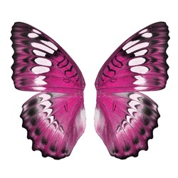 Pink butterfly wing isolated on white background