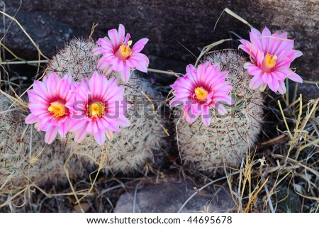 Pink cactus blooming in the Grand Canyon