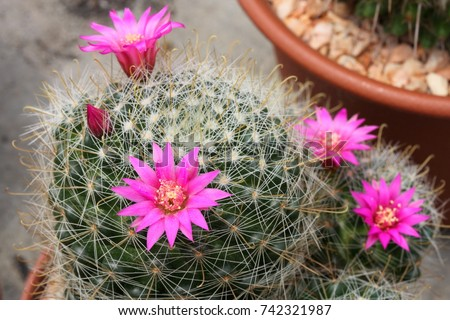 Pink cactus flower ez canvas pink cactus flower mightylinksfo