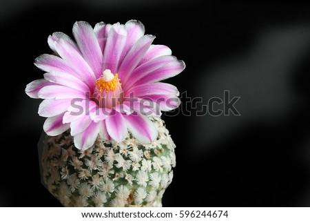 Pink cactus flower.( turbinicarpus valdezianus)