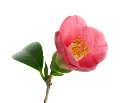 Pink camellia flower, Japanese camellia blooming with leaves isolated on white background, with clipping path