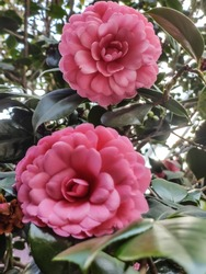 Pink Camellia japonica in garden commonly known as Pearl Maxwell