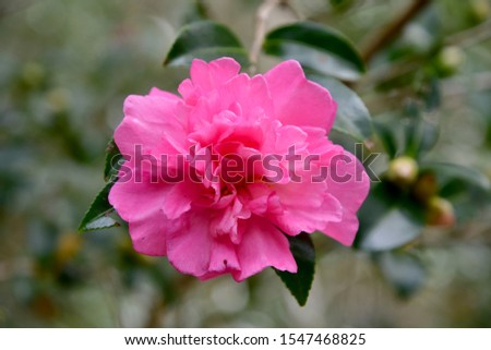 pink camilla flower in bloom Foto stock ©