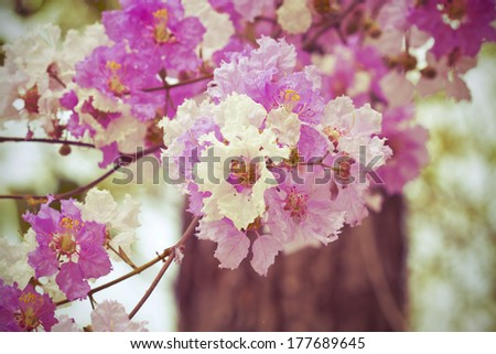Pink Cananga odorata,sweet pink flower blooming in the garden,vintage style light