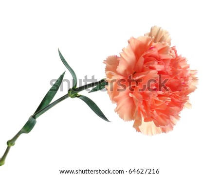 Carnation Flower Picture on Pink Carnation Flower Stock Photo 64627216   Shutterstock