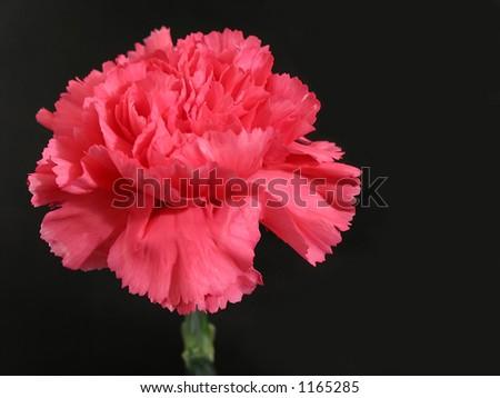 Pink carnation flower on black background